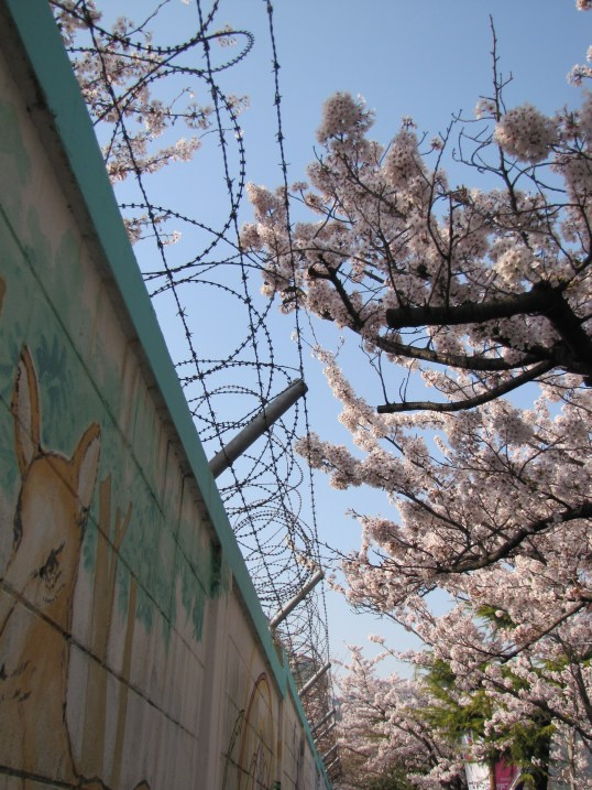 Cherry blossoms and barbed wire
