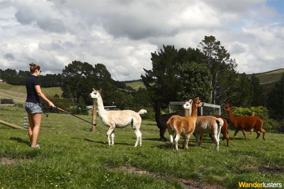 Alpaca herding - just one of many skills Charli has picked up while house-sitting.