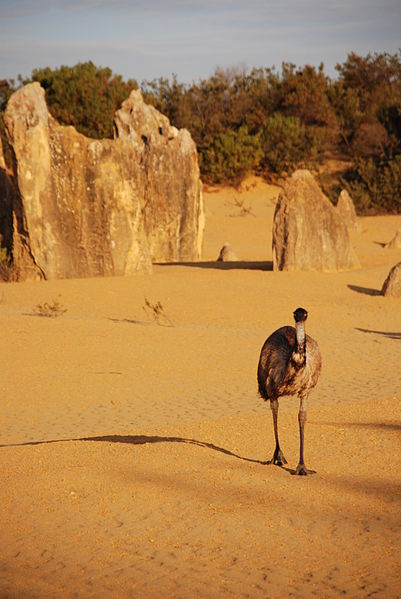 A lonely emu wandering amidst the pinnacles.