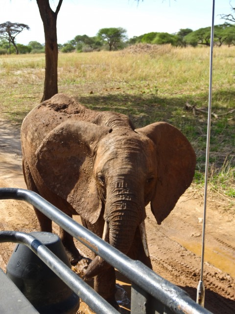 This female elephant came up to our truck to play in the puddle we were parked in.