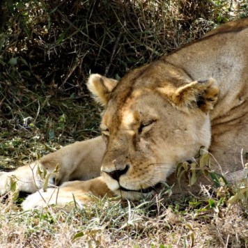 A lioness sleeps under a tree to escape the scorching Serengeti sun.