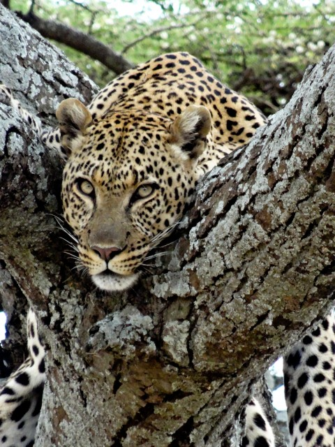 A gorgeous leopard eyes us lazily from its lofty perch.