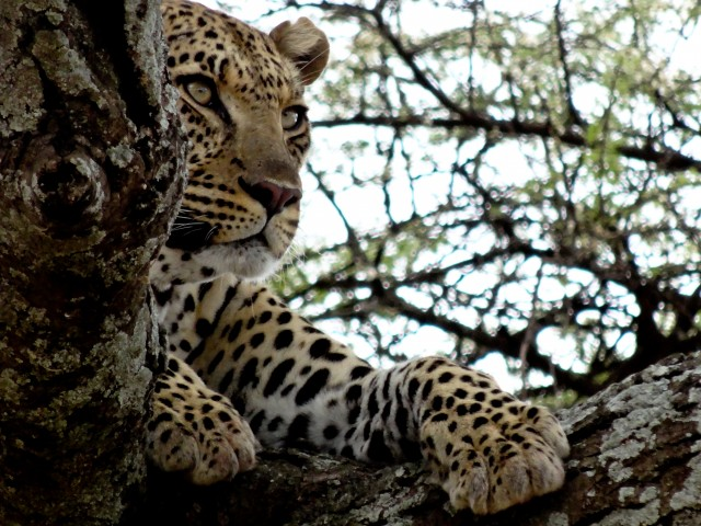 Another shot of the same leopard as it chooses to ignore its photographer.