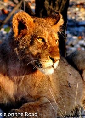 An adorable lion cub enjoying the dawn sun by the road.