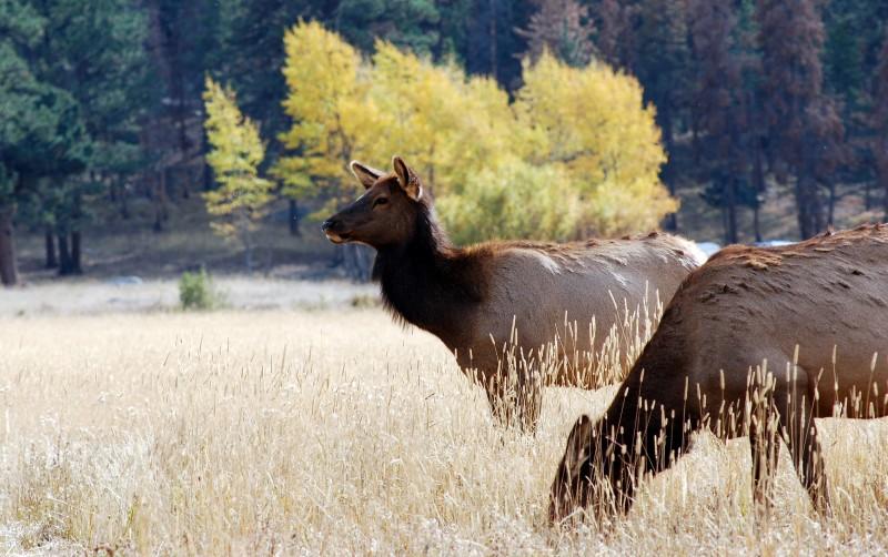 rocky mountain national park deer