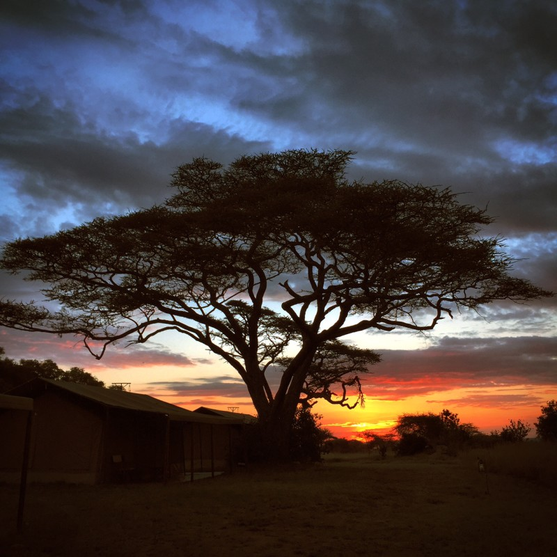 serengeti sunset acacia tree