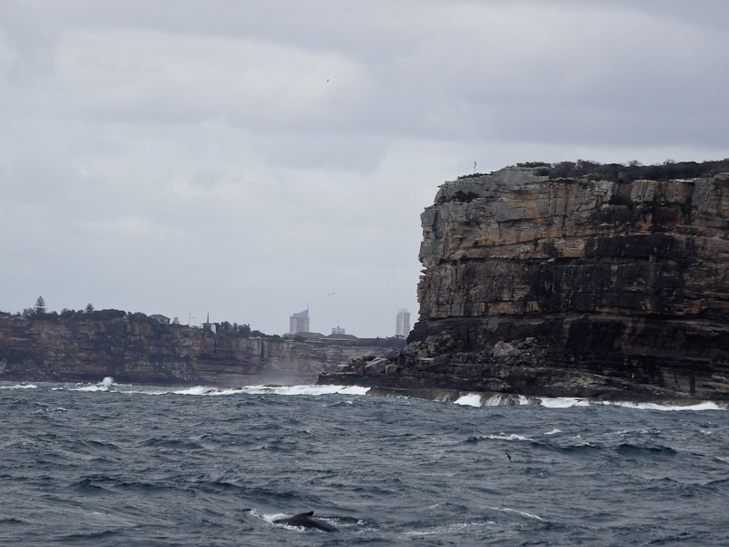 A humpback whale swims in the foreground while the Sydney headland looms in the background.
