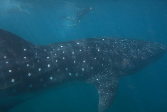 whale shark ningaloo reef