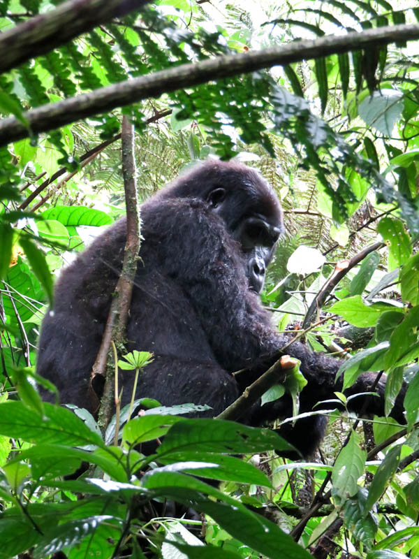 pensive gorilla uganda