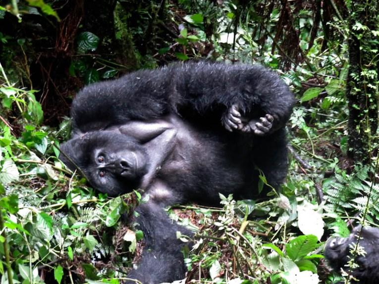 silverback posing uganda gorilla trekking