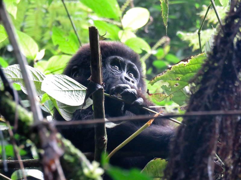 uganda gorilla trekking baby gorilla