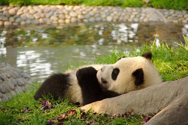 chengdu panda centre