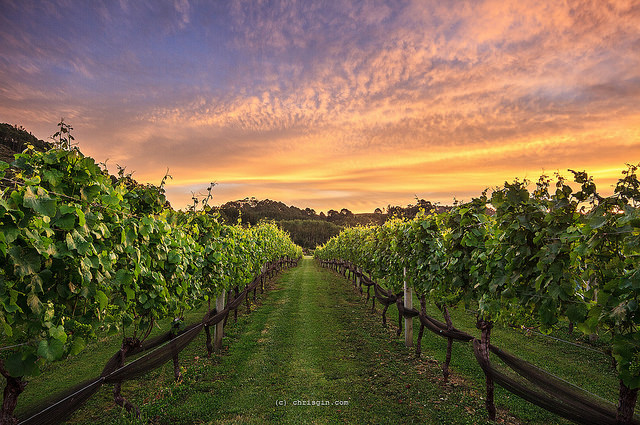 New Zealand vineyard