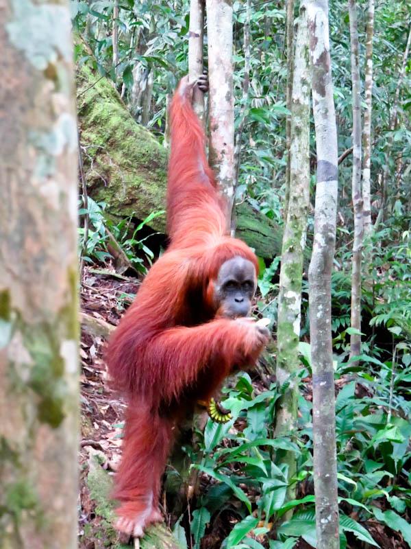 amini bukit lawang orangutan trekking