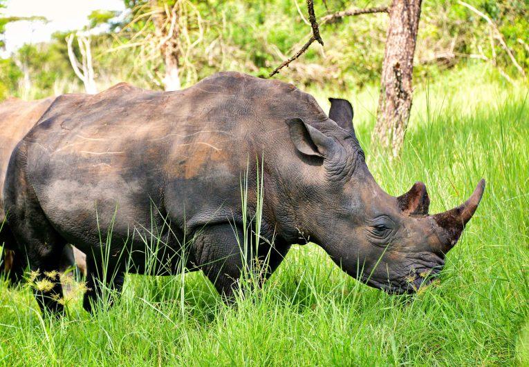 white rhino ziwa