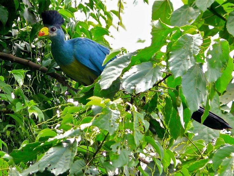 great blue turaco bigodi uganda