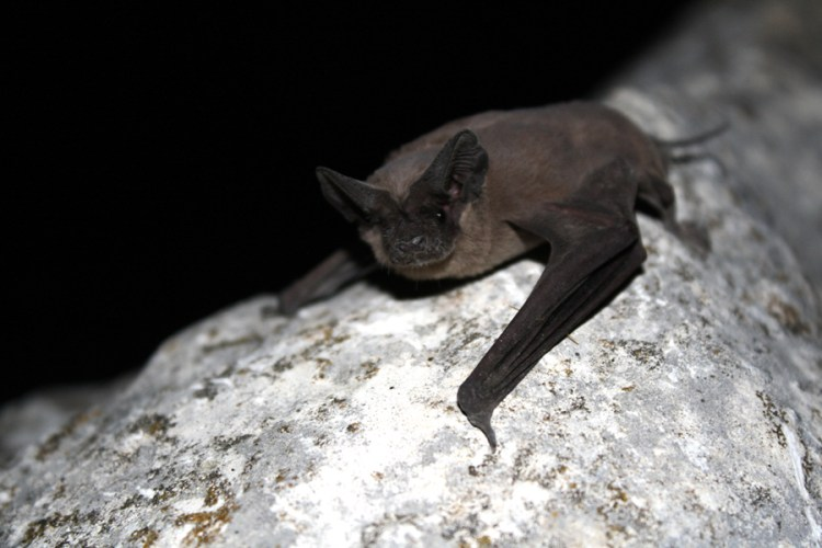 austin congress bats bridge mexican free-tailed flight wildlife