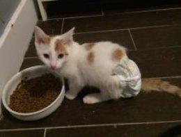 Kitten in a diaper