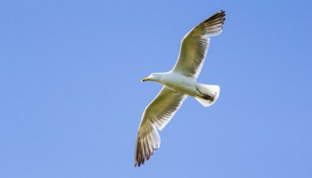 soaring herring gull