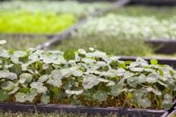 Urban Till raises a variety of micro greens, including nasturtium, that go to several Chicago area restaurants. David Pierini/staff photographer