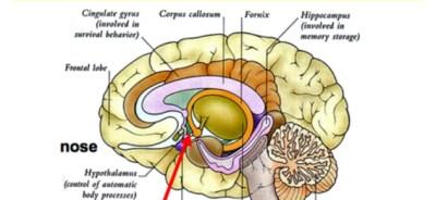 Emotional-Brain