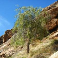 sandalwood-northern-tree