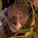 Eucalyptus-peppermin-gum-dives-koala-500