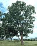 eucalyptus-radiata-02