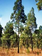 blue-cypress-tree-small-web