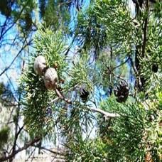 australian-white-cypress-500