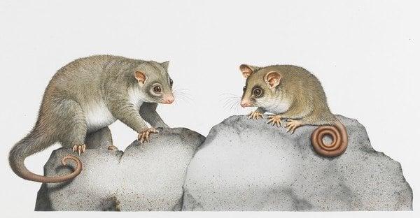 Mountain pygmy-possum and rock possum