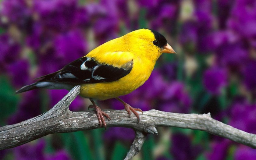 Родина певчих птиц — Австралия?
