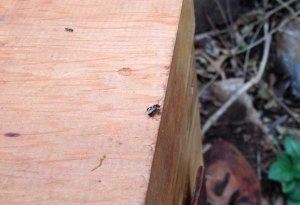 Queen-bee-on-box