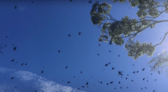 Fighting swarm of stingless bees