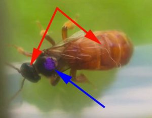Marking bees positions for stingless bee