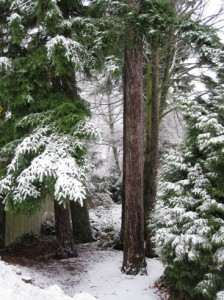 evergreens with snow