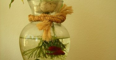 siamese-fighting-fish-bowl-plants