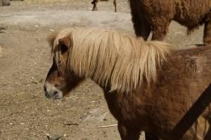small horses