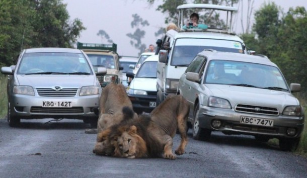 Two Lions on road at Nairobi (3)