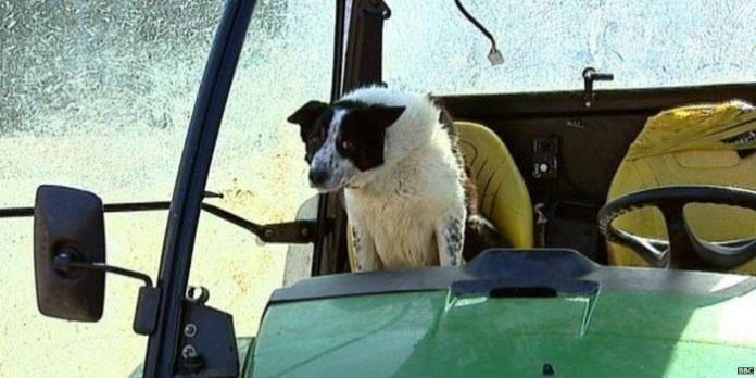 sheepdog-causes-highway-unrest-after-he-drives-the-tractor-in-the-middle-of-the-road-94733_1