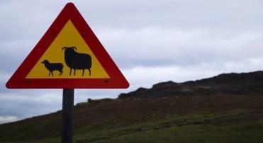 Sinalização rodoviária islandesa alerta sobre travessia de ovelhas e carneiros (JOEL SAGET/AFP/Getty Images)