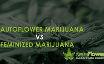 autoflowering seeds vs feminized