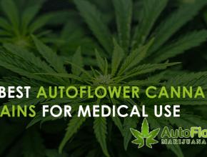 autoflower medical marijuana seeds