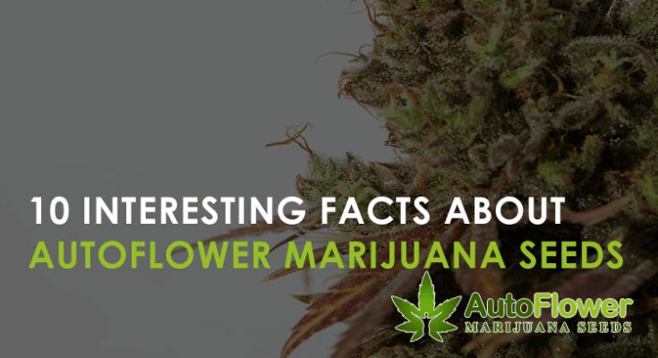 autoflower marijuana seeds facts