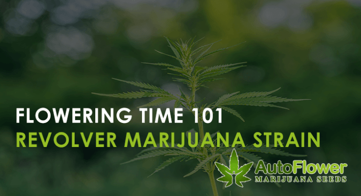 revolver marijuana seeds