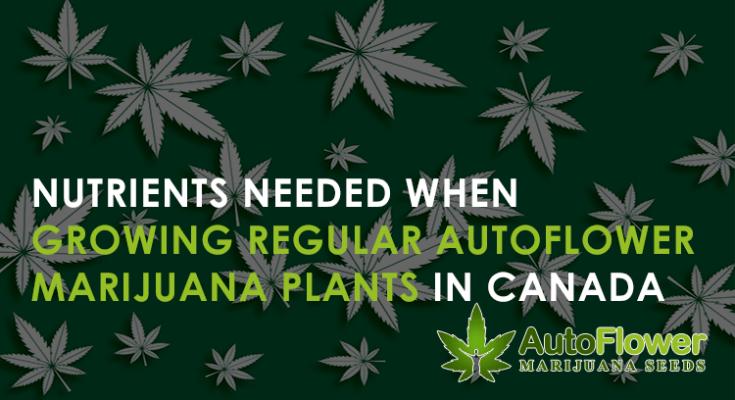 nutrients needed when growing regular autoflower marijuana plants in canada