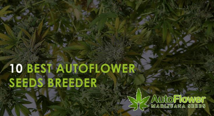 best autoflower seeds breeder