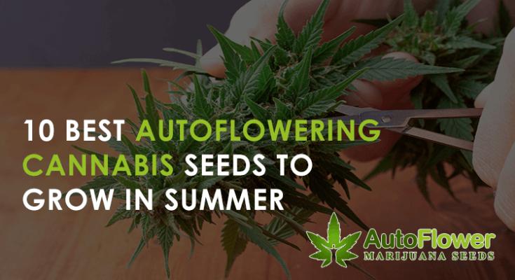 summer autoflower cannabis for outside