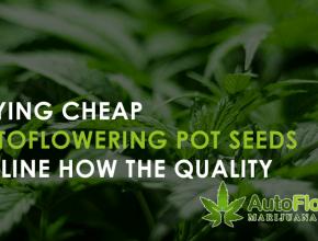 autoflowering cannabis seeds online