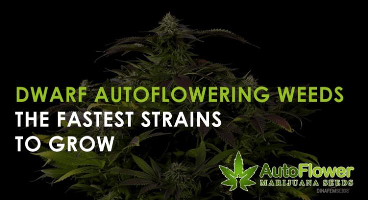 autoflowering dwarf cannabis seeds
